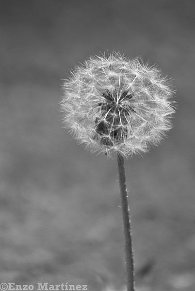 flower-dandelion-black-and-white